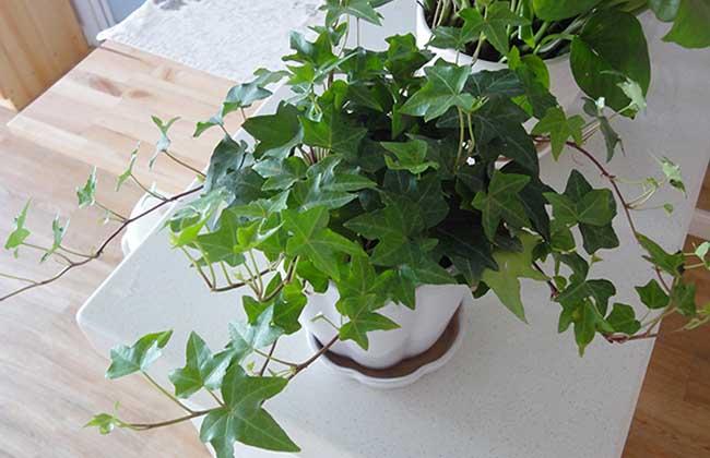 常春藤的养殖方法