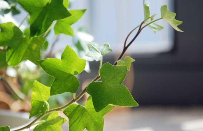 常春藤有毒吗?