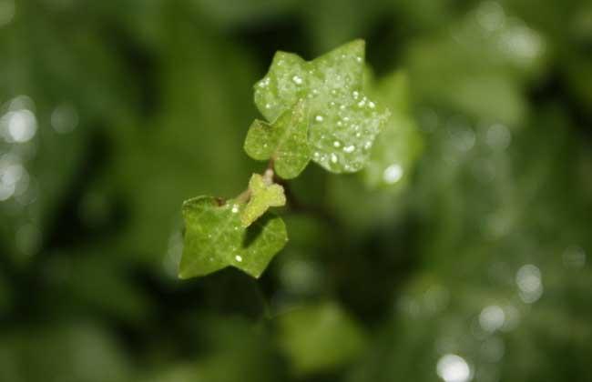 常春藤有毒吗