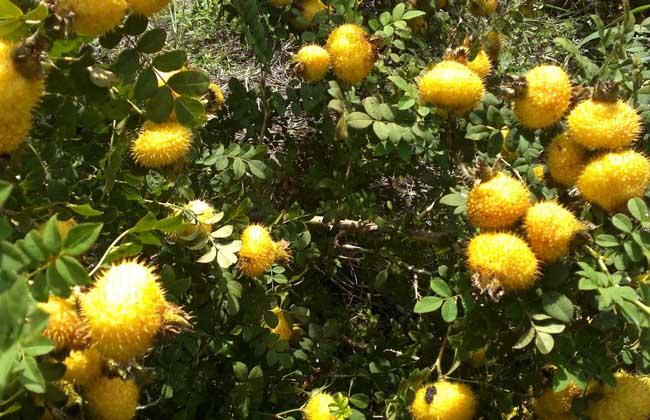 刺梨的产地分布