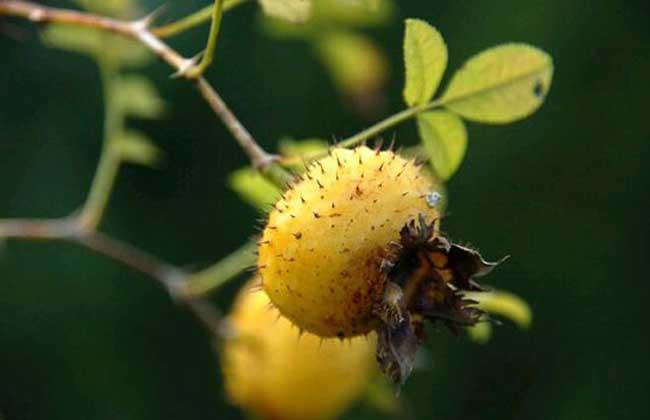 刺梨的功效与作用及食用方法