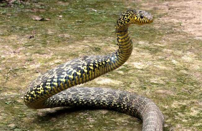 豹 豹子 壁纸 动物 蛇 桌面 650_420