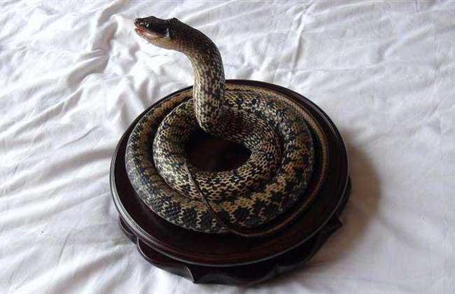 大王蛇的生活习性