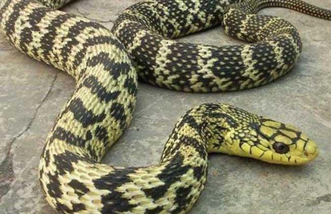 大王蛇的食用方法