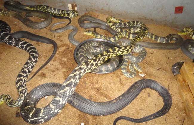 大王蛇的市场价格