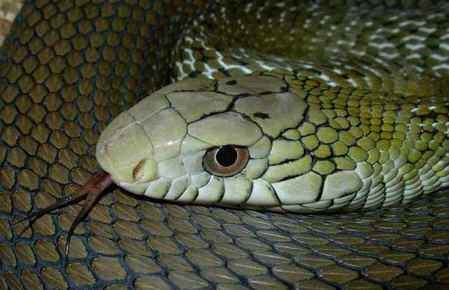 大王蛇是保护动物吗