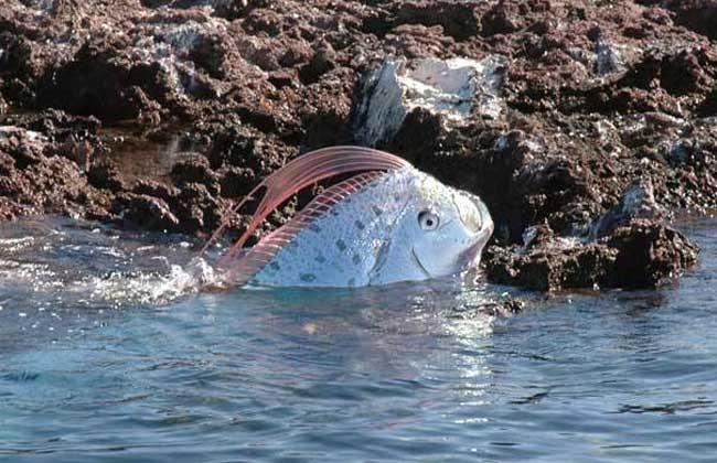 皇带鱼的恐怖传说