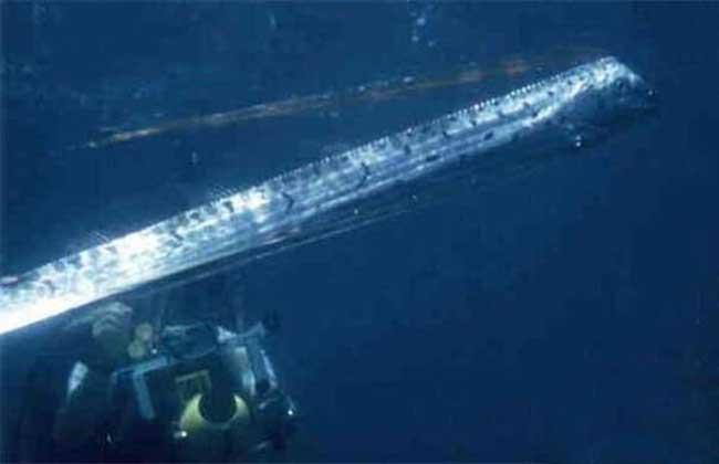 巨型皇带鱼图片