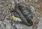 大王蛇能长多大?