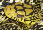 大王蛇是保护动物吗?