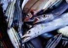 带鱼的产地分布