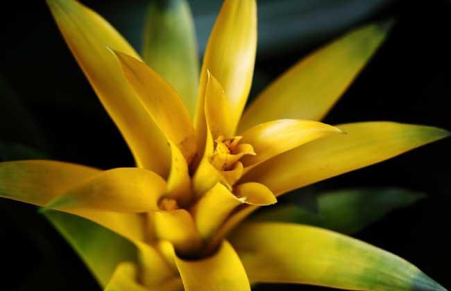 凤梨花的花语和传说