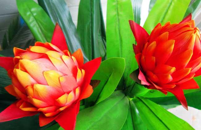 凤梨花的繁殖方法