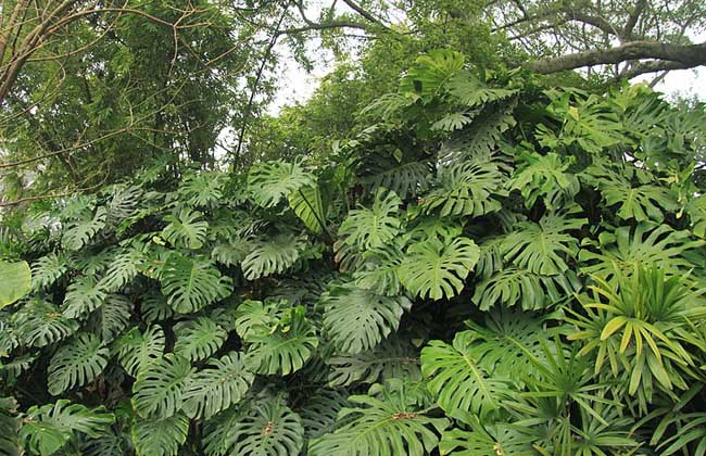 龟背竹的繁殖方法