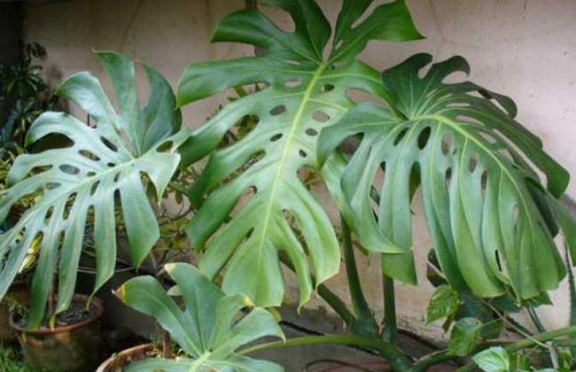 水培龟背竹怎么养