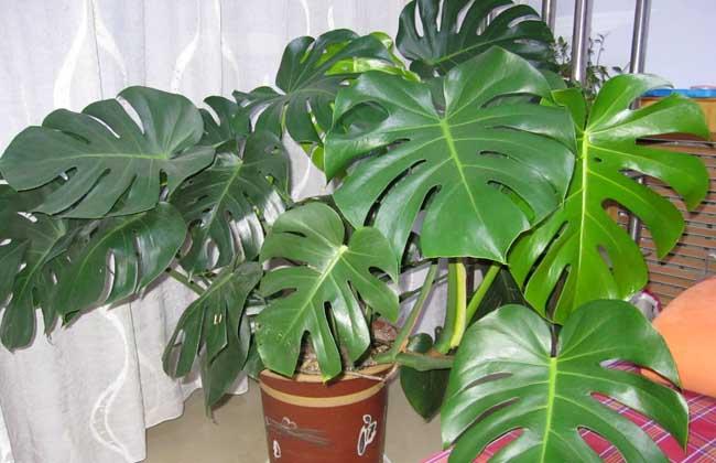 龟背竹能养在室内吗