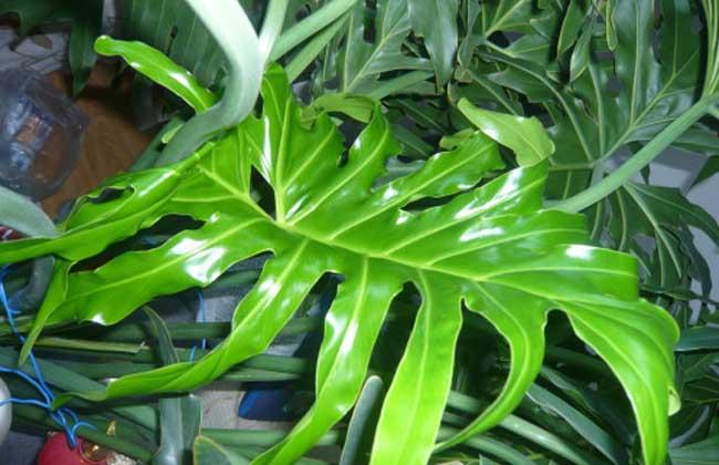 龟背竹能水培吗?
