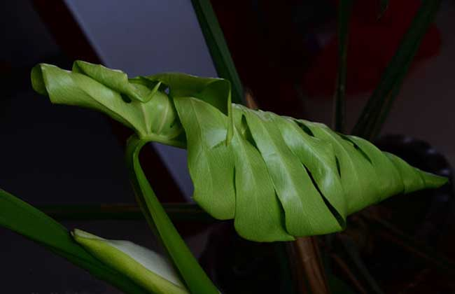 龟背竹的修剪方法