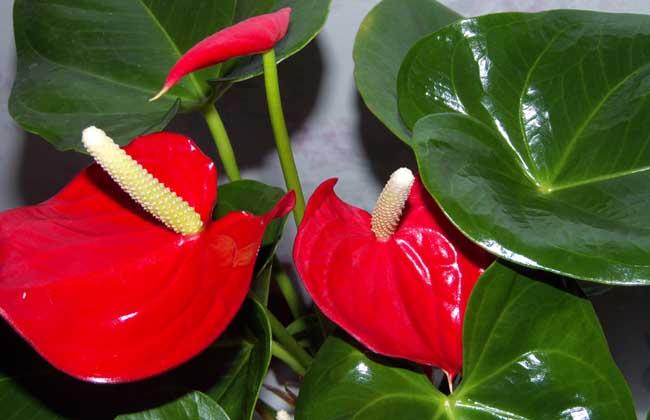红掌的花语是什么?