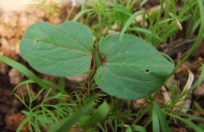 黄秋葵的种植时间