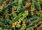 胡椒的产地分布