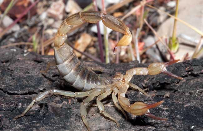 蝎子是不是昆虫