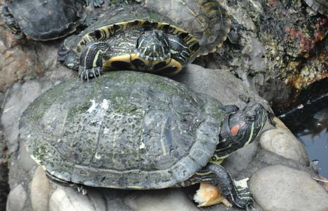 乌龟的种类有哪些