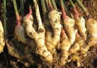 生姜高产品种有哪些?