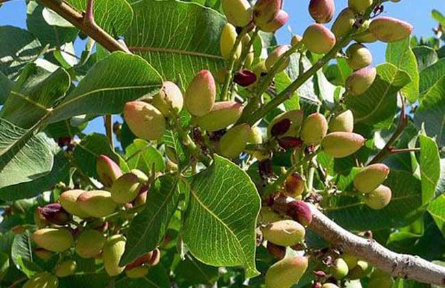 开心果树几年结果