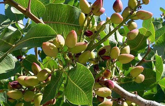 开心果树病虫害防治技术