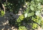 开心果树种植技术视频