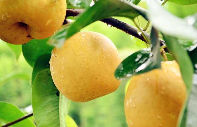 梨子的营养价值
