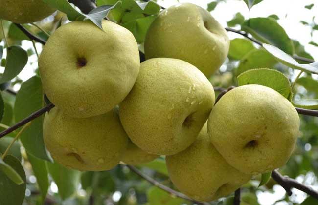 梨的营养价值