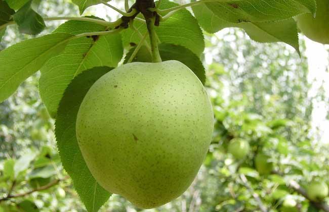 孕妇可以吃梨吗