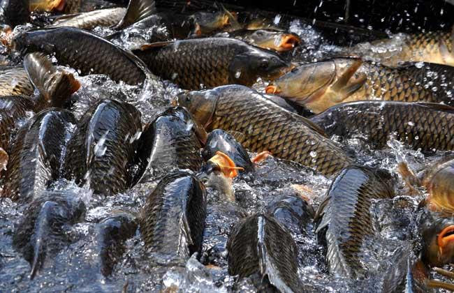 鲤鱼吃什么食物