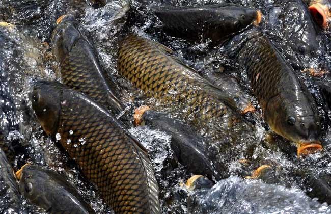 鲤鱼的寿命有多长?