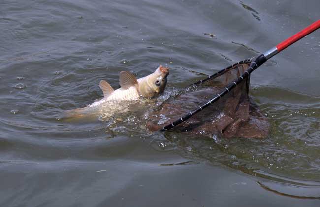 鲤鱼的繁殖技术