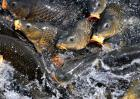 鲤鱼养殖技术视频