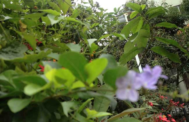 黄叶假连翘图片