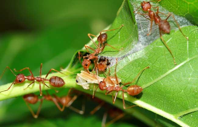 蚂蚁是不是昆虫