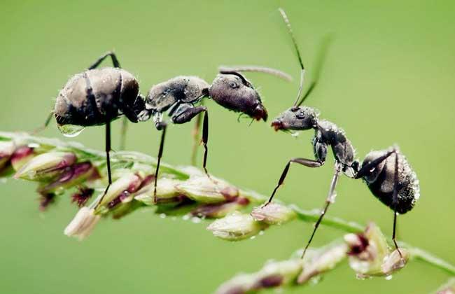 黑蚂蚁的功效与作用