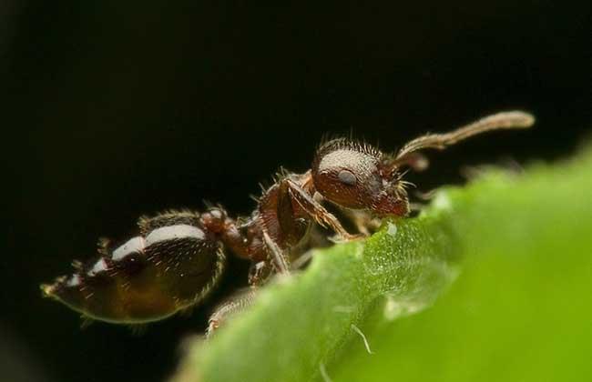 黑蚂蚁怎么吃最好
