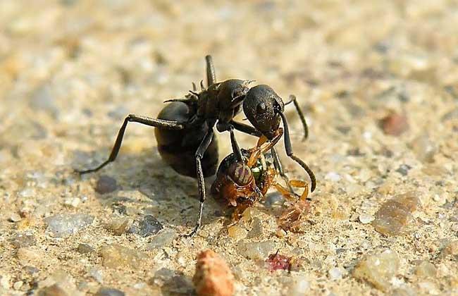 黑蚂蚁泡酒配方大全