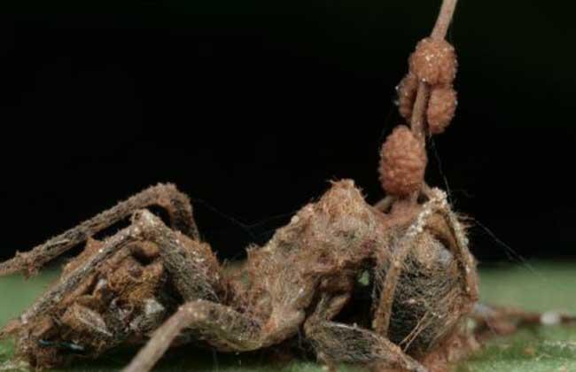 僵尸蚂蚁死后还能动么?