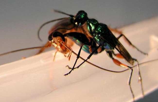金小蜂会将蟑螂变成僵尸一样驱使