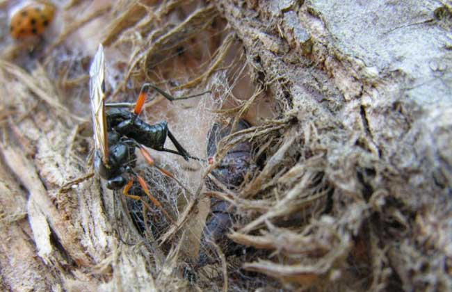 寄生蜂控制毛毛虫一生