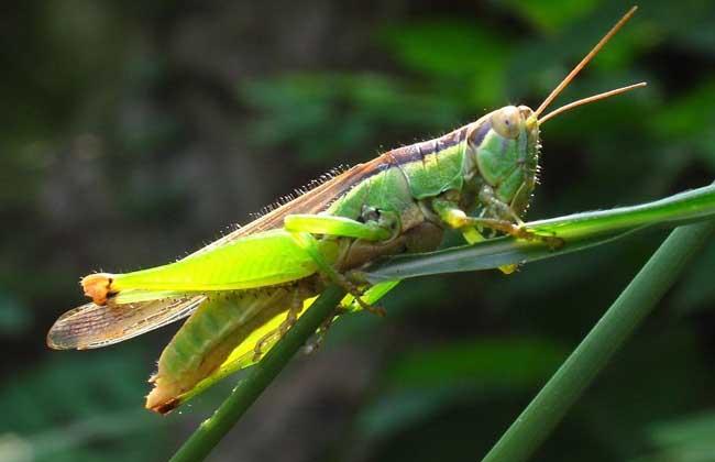 寄生虫可让蝗虫杀死自己