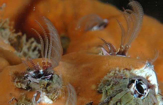 藤壶将螃蟹变成没有思想的代孕母亲