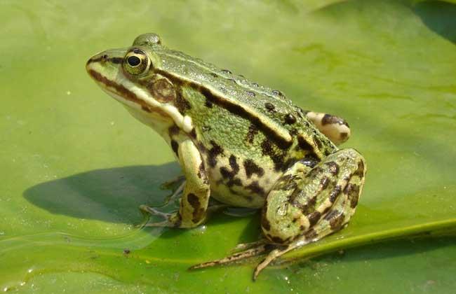 青蛙的养殖技术