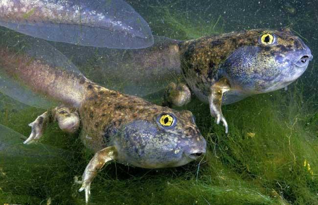 蝌蚪吃什么食物